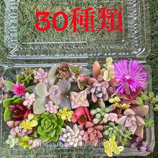 多肉植物 *カラフルカット苗*(その他)