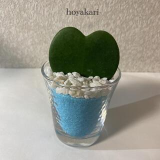 ホヤカーリー ラブハート 多肉植物(ドライフラワー)