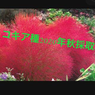 コキアのタネ こきあ 2020年秋採取 スワッグ ドライフラワー 紅葉 新緑(ドライフラワー)