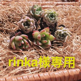 ①rinka様専用 韓国多肉植物 3種6苗セット❤お名前つけます(その他)