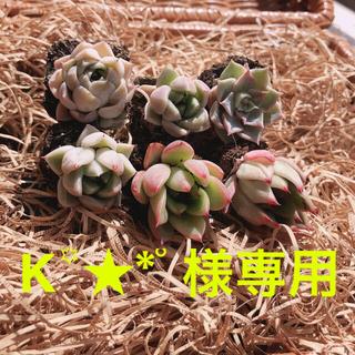 ②K꙳★*゚様専用 韓国多肉植物 3種6苗セット❤お名前つけます(その他)