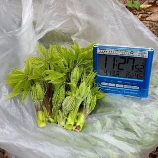 山菜 こしあぶら 180g(野菜)