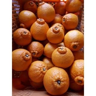 香川県産 デコポン不知火 柑橘 みかん 5キロ
