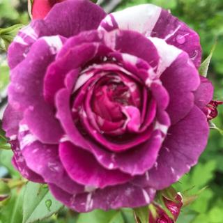 薔薇苗 S.J