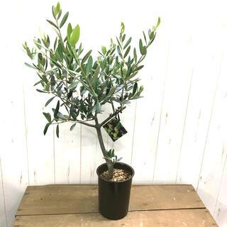 現品 オリーブの木 SOUJU ルッカ 4号  rA70(プランター)