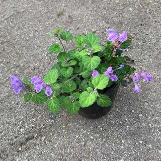 タツナミソウ 紫(その他)
