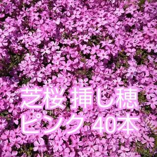 芝桜 挿し穂 ピンク 40本(その他)