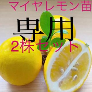 マイヤレモン赤ちゃん苗4cmポット2株+カラタチ苗2株+花ゆず赤ちゃん苗2株(その他)