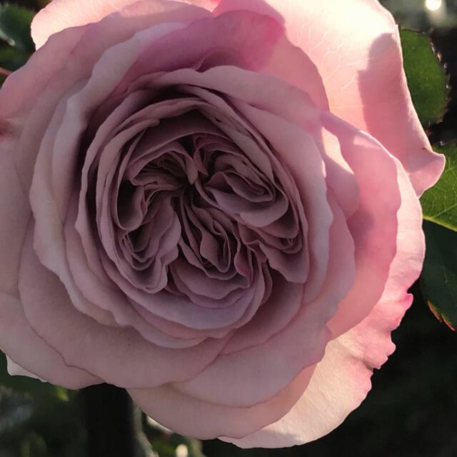 ニュアンスカラーのバラ苗 ハンドメイドのフラワー/ガーデン(その他)の商品写真