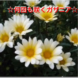 24☆初心者向け☆何回も咲く❣ガザニア☆丈夫☆挿し芽☆(プランター)