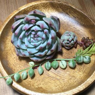 多肉植物 コロラータ、七福美尼、斑入りグリーンネックレス(その他)