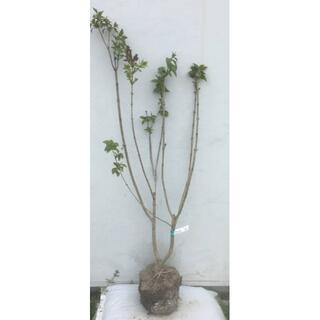 《現品》ライラック 紫花 樹高1.1m(根鉢含まず)17【リラの木/苗木/植木】(その他)