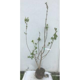 《現品》ライラック 紫花 樹高1.2m(根鉢含まず)19【リラの木/苗木/植木】(その他)