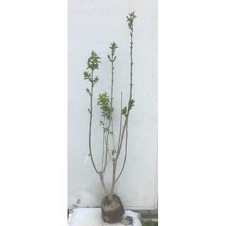 《現品》ライラック 紫花 樹高1.4m(根鉢含まず)20【リラの木/苗木/植木】(その他)
