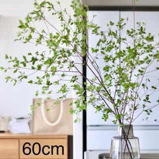 生花ドウダンツツジ ヤマドウダン 60cm×1束 枝物 切り花(その他)