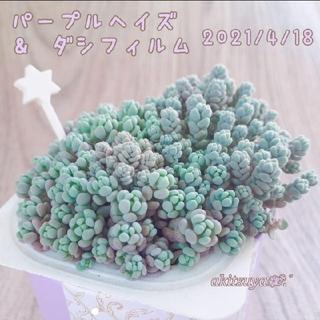 パープルヘイズ & ダシフィルム  多肉植物   根付き 抜き苗(その他)