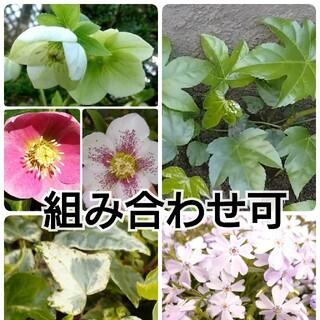 植物の苗、挿し穂など 組み合わせ可能(その他)