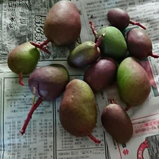 1. グリーン マンゴー 3kg 漬物用 摘果 家庭用(フルーツ)