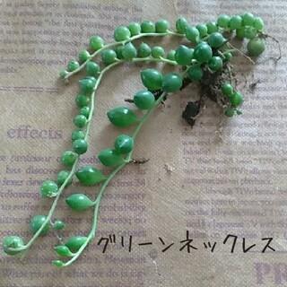 多肉植物【グリーンネックレス】根付き苗(その他)