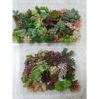 多肉植物 セダムカット苗セット 38品種(*^^*)(その他)
