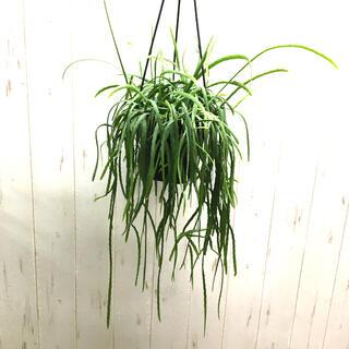 ボリビアナム LEPISMIUM BOLIVIANUM  5号 吊り鉢 (プランター)