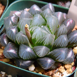 ハオルチア 紫オブツーサ(その他)