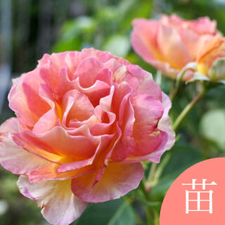 バラ 約40cm挿し木苗(発根済)(その他)