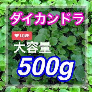 【まき時】ダイカンドラ ディコンドラ 500g種子。《35平米》芝生へ(その他)
