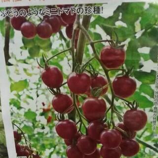 グレープトマト トスカーナバイオレット 種(野菜)