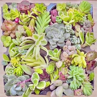 多肉植物 セダムカット カラフルセット.☆.。.:*・(その他)