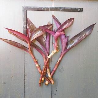 カット苗 ムラサキゴテン (パープルハート、セトクレアセア) ¥300(その他)