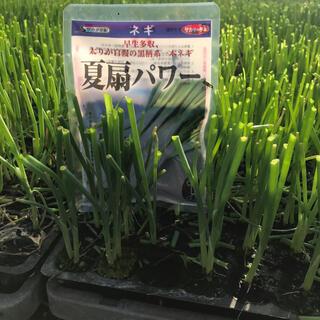 ネギ苗1,000本(タネはサカタの夏扇パワー、太さ約3mm)(野菜)
