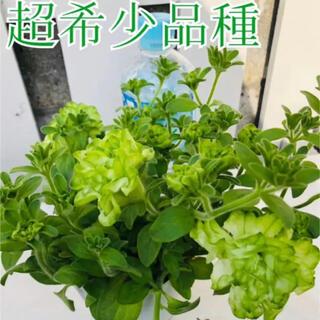 ♥大人気八重咲きペチュニア♥希少品種♥湘南ヴェルデ♥ 3号ポットごと発送