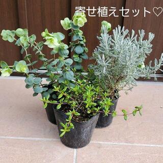 ジュンコ様専用ペー寄せ植え3種セット♡ロタンダフォーリア&サントリナグレ&タイム(プランター)
