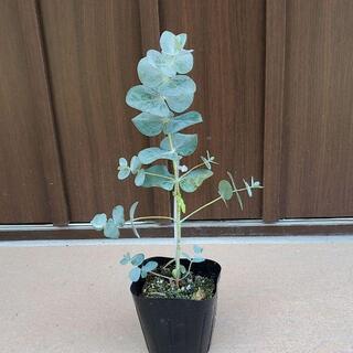 ユーカリベイビーブルー ポット苗⑥ 観葉植物 シンボルツリーに♪(ドライフラワー)