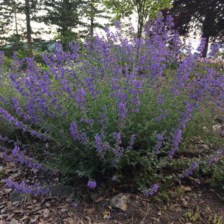 キャットミント  草丈1メートル  有機栽培無農薬(その他)