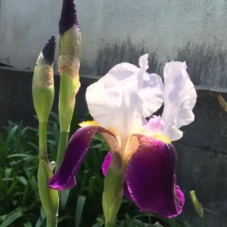花菖蒲(紫)根付苗1本(その他)