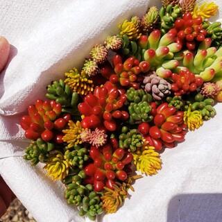多肉植物 カラフルカット苗(その他)