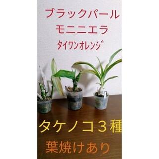 洋ランタケノコ蘭3株セット ブラックパール モニニエラ シクノデス(その他)