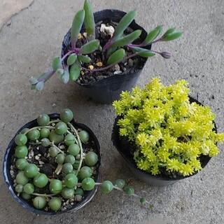 多肉植物 3種 黄金細葉万年草・グリーンネックレス・ルビネックレス 抜き苗(その他)