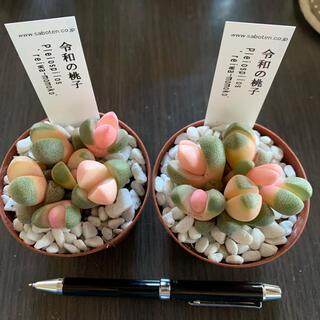 令和の桃子 多肉2ポットのまま現品ヤマト便送料込み発送(その他)