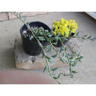 多肉植物 2種 黄金細葉万年草・ドルフィンネックレス 抜き苗 セダムのおまけ付(その他)