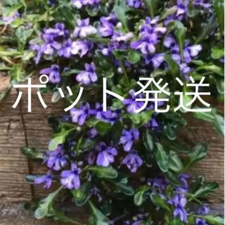 ★ポット発送★ヒメキランソウ(ᵔᴥᵔ)グランドカバー♡ベランダガーデン♡紫小花♡(その他)