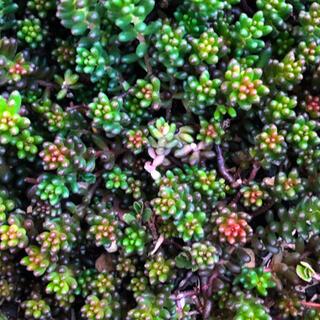 多肉植物 ブラックベリー 20カット(その他)