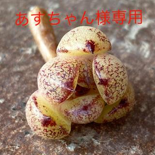 多肉植物  6点セット(その他)