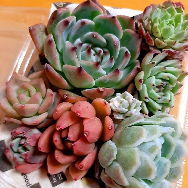 多肉植物☆詰め合わせ ハンドメイドのフラワー/ガーデン(その他)の商品写真