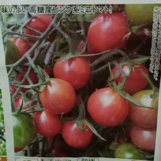 高糖度トマト シュガリーテール 種 30粒 野菜 トマト(野菜)