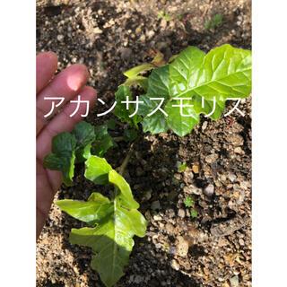 bibuo様 メリニス種・カンパニュラ・アリウム・アカンサスモリス (その他)