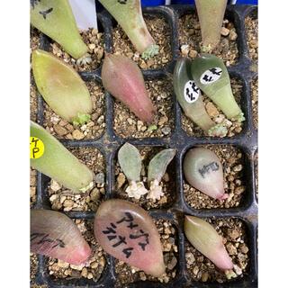 【多肉植物 葉挿し③】たっぷり★12種類14枚★全て芽あり(その他)