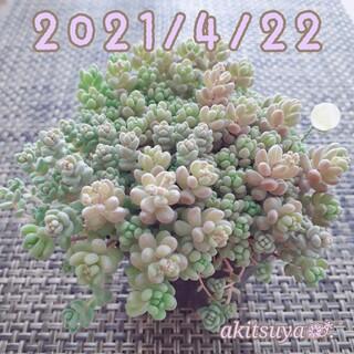 チャりん様   パープルヘイズ 大 9cm 1つ多肉植物   根付き 抜き苗(その他)